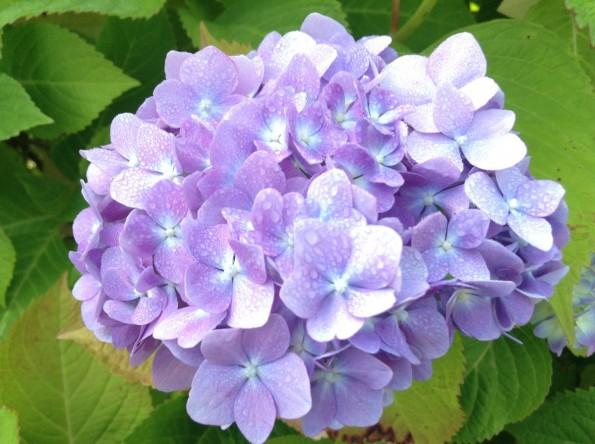 hamamatsu_rainseason_flower (2)