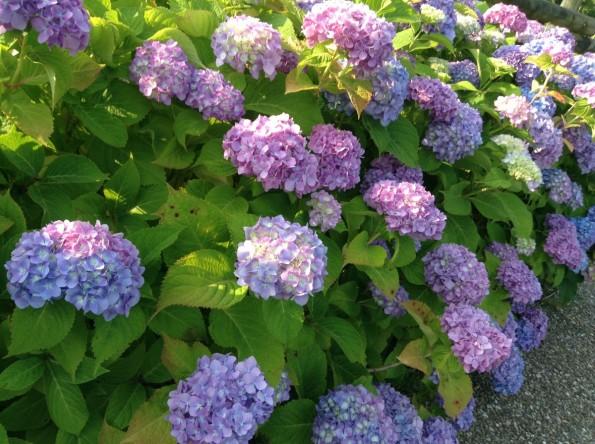 hamamatsu_rainseason_flower (3)