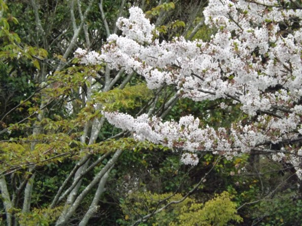 hamamatsu_spring_cherryblossom (119)