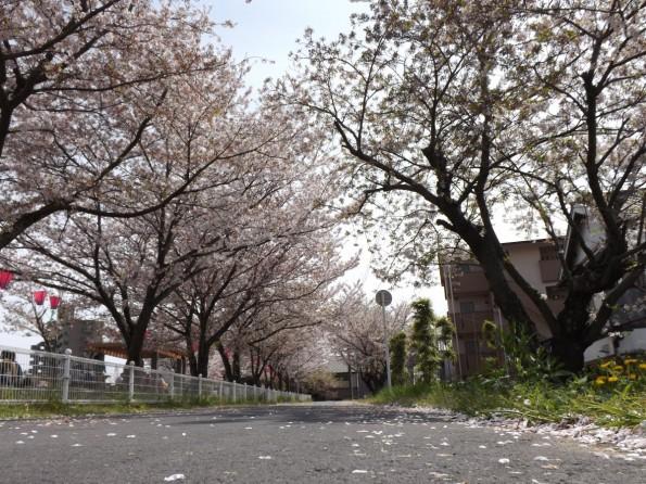 hamamatsu_spring_cherryblossom (74)