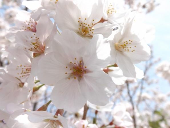 hamamatsu_spring_cherryblossom (82)