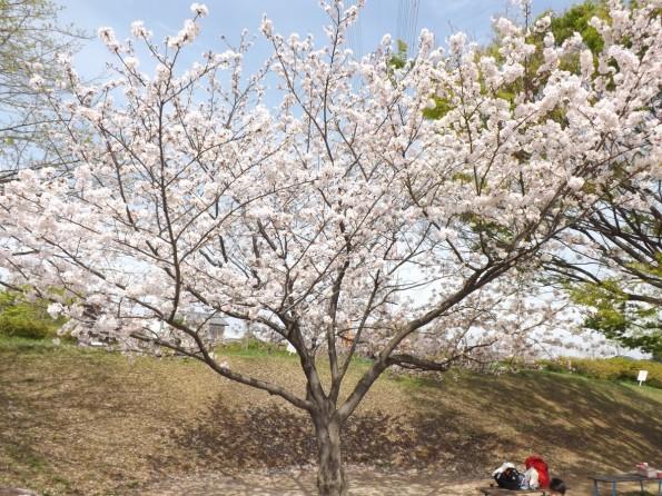 hamamatsu_spring_cherryblossom (87)