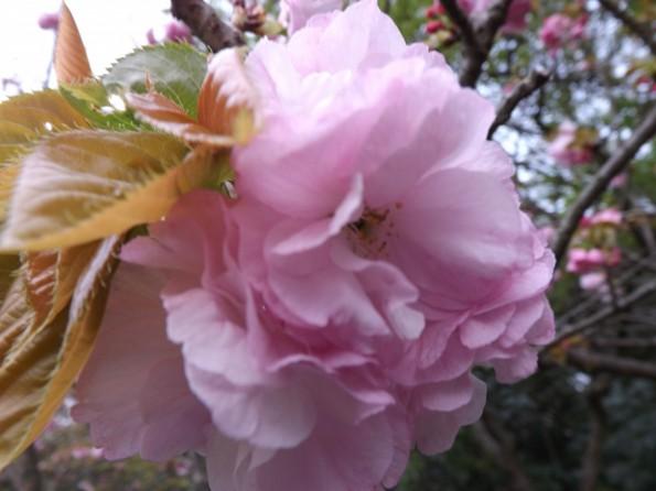 hamamatsu_spring_cherryblossom (99)